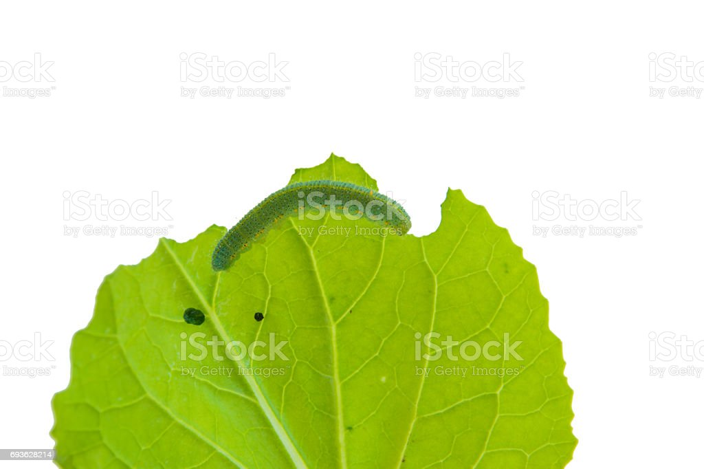 Worms eat leaves isolated. stock photo