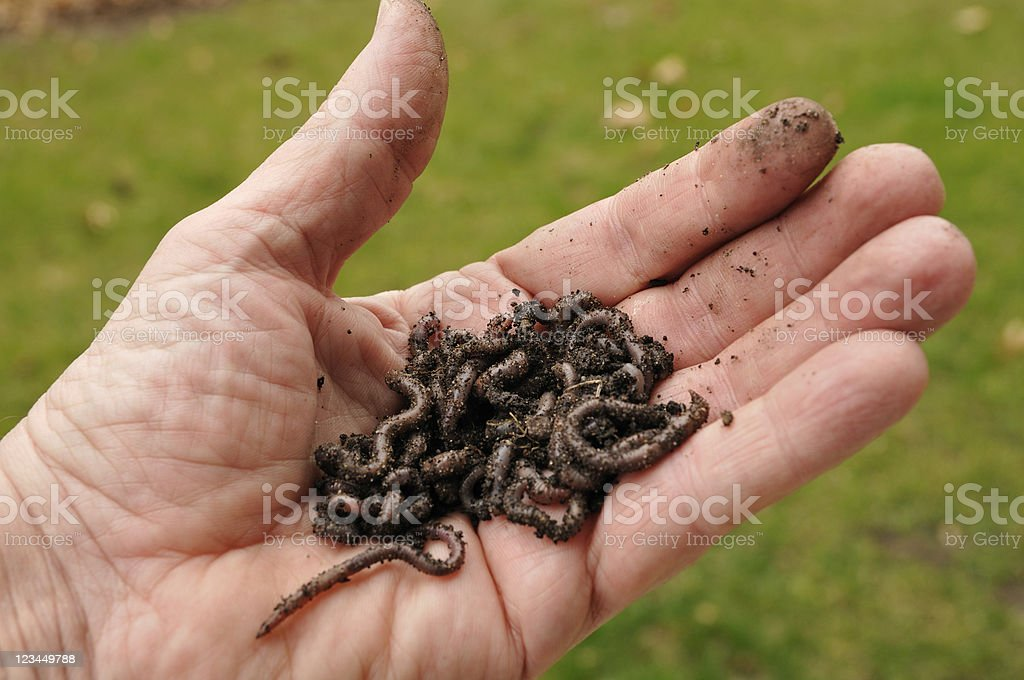 Worms in Hand royalty-free stock photo
