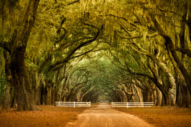 wormsloe historic plantation savannah, georgia usa - south stock photos and pictures