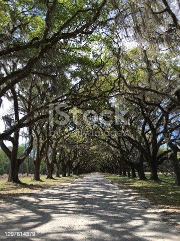 Wormsloe Historic Plantation Site - Live oak Trees - Savannah Georgia