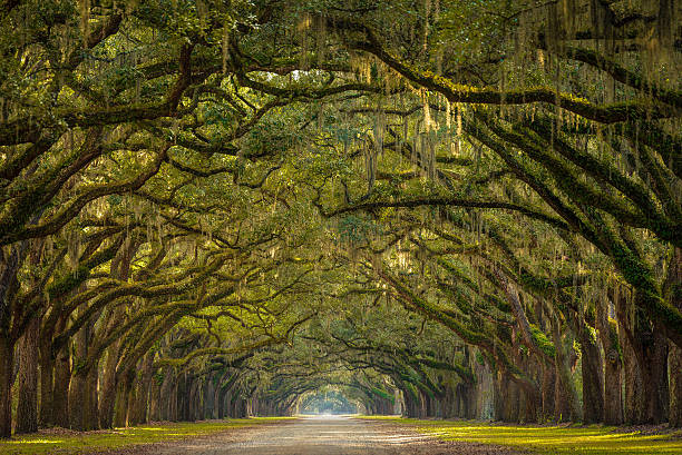 Wormsloe Plantation Oak Trees A stunning, long path lined with ancient live oak trees draped in spanish moss in the warm, late afternoon near Savannah, Georgia. southern usa stock pictures, royalty-free photos & images