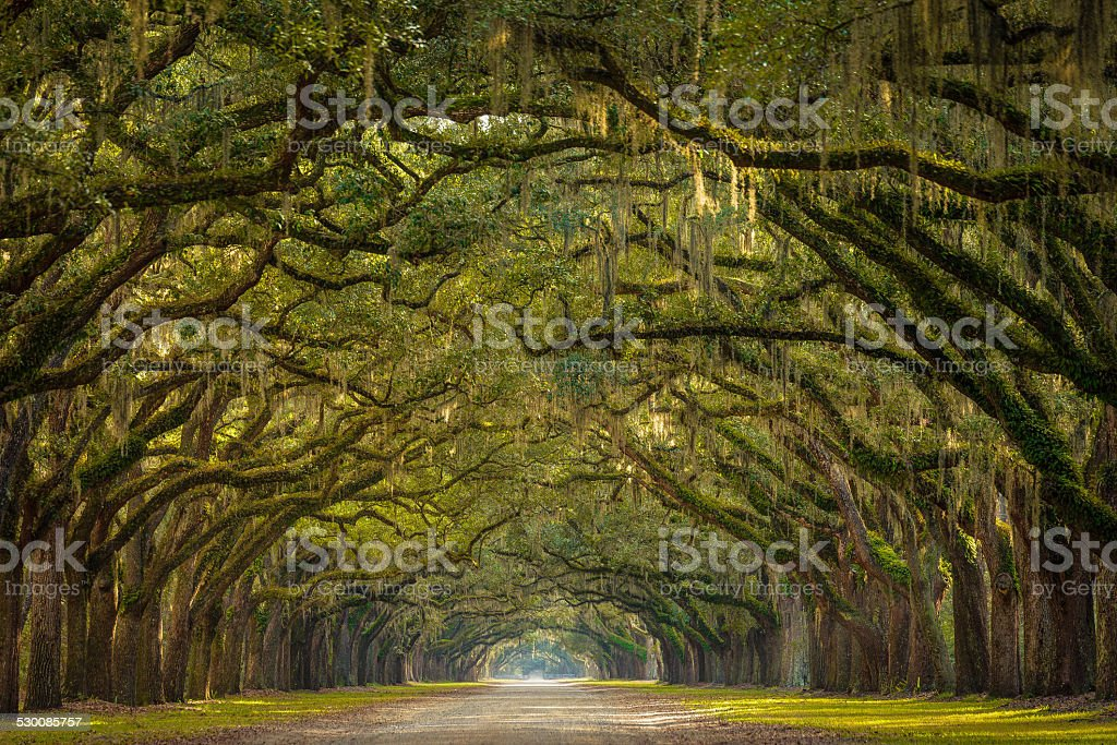 Wormsloe Plantation Oak Trees stock photo