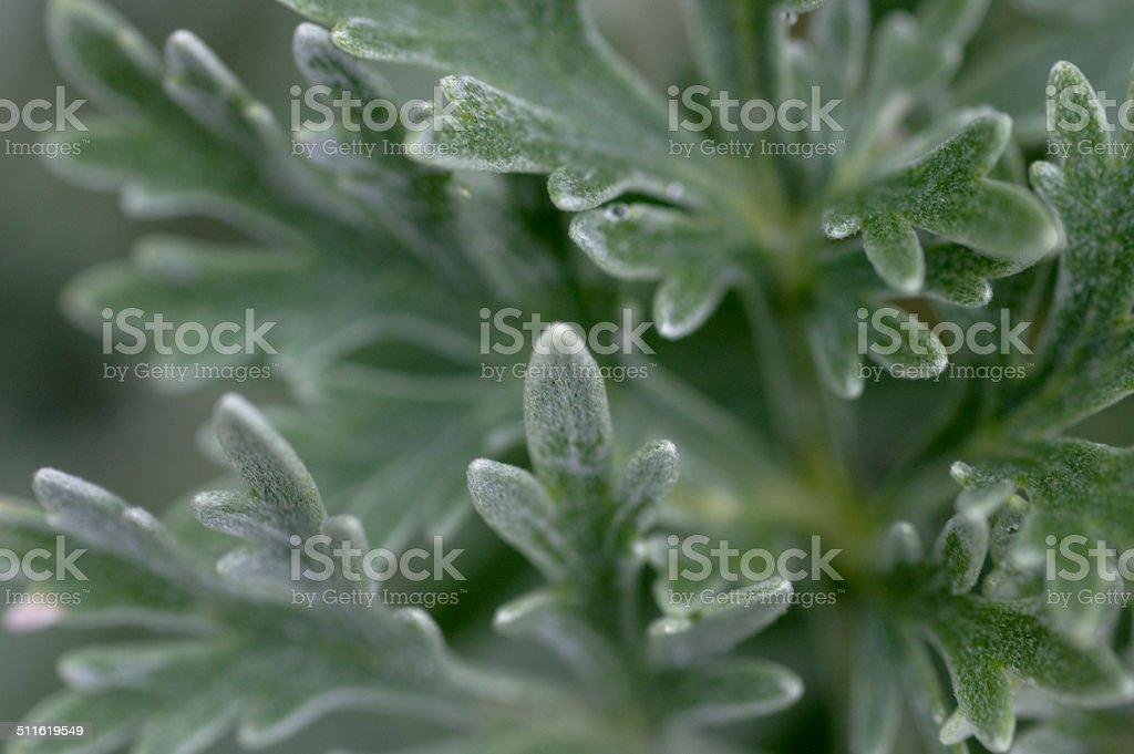 Wormwood (Artemisia arborescens) Foliage Macro stock photo