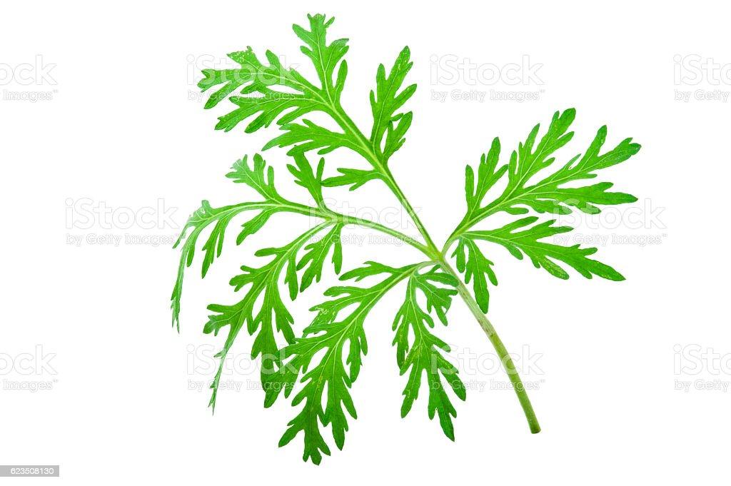 Wormwood (absinthium)leaf stock photo