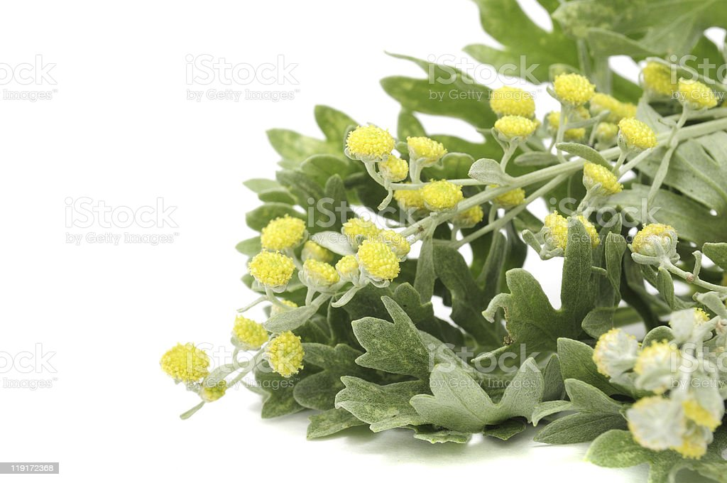 Wormwood Leaves And Flowers stock photo