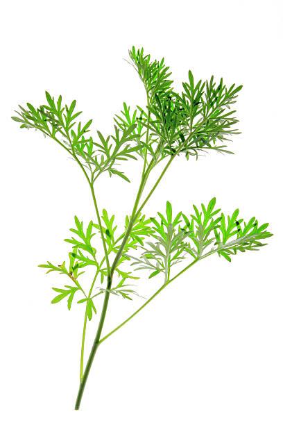 Wormwood (Artemisia absinthium) – Foto