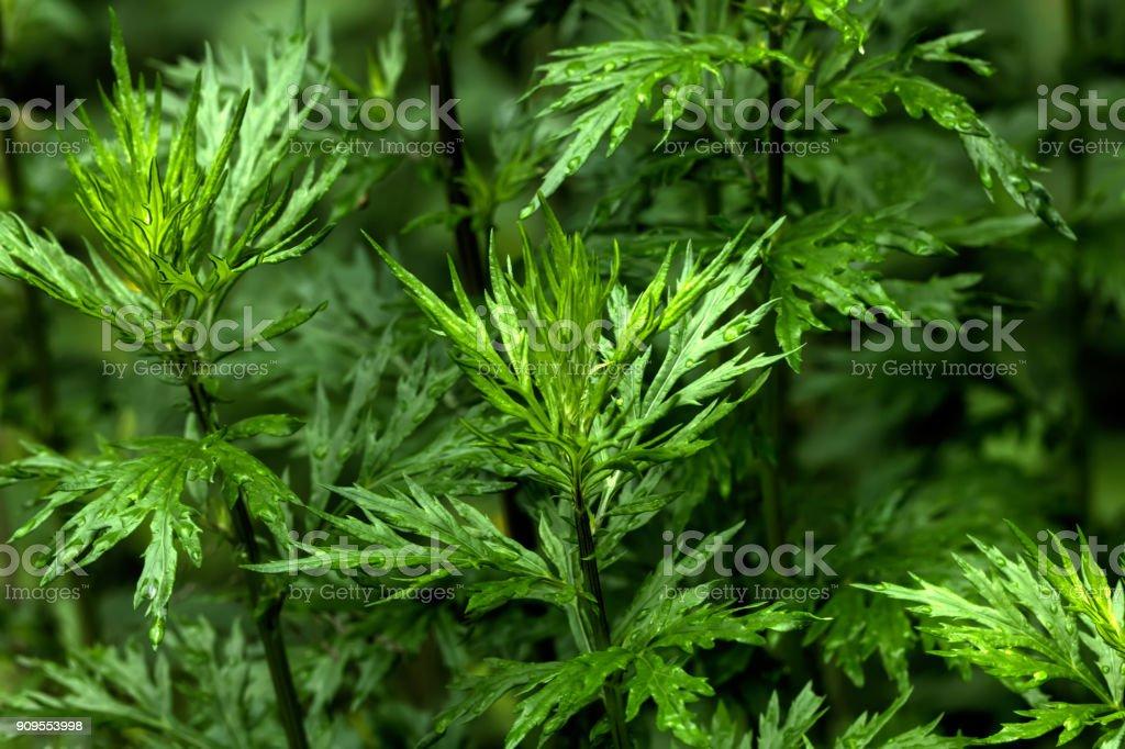 Wormwood. Wild plant. stock photo