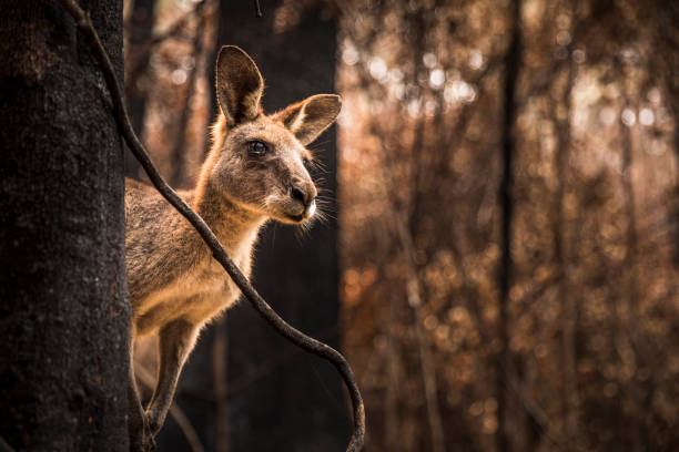 Worried looking Kangaroo in burnt forest after bushfires stock photo