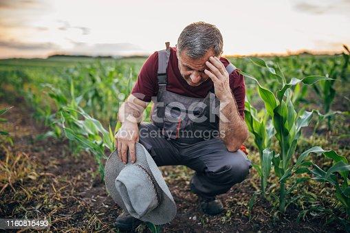 One senior farmer in the corn field, examining soil, looking worried.
