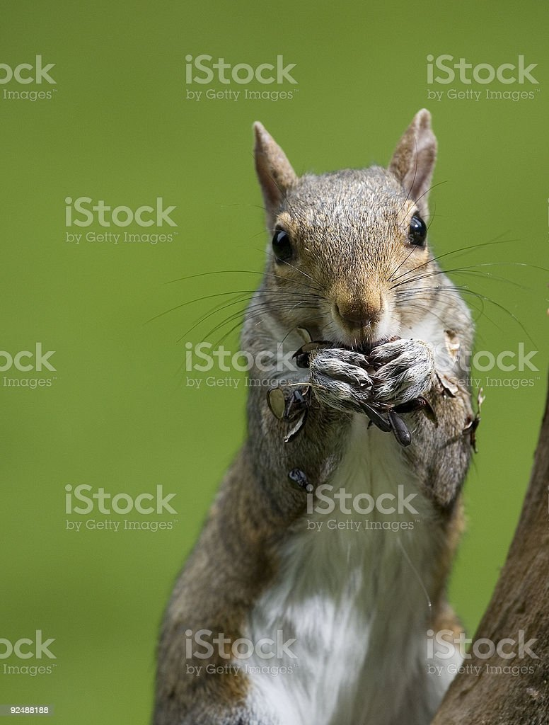 worried squirrel royalty-free stock photo