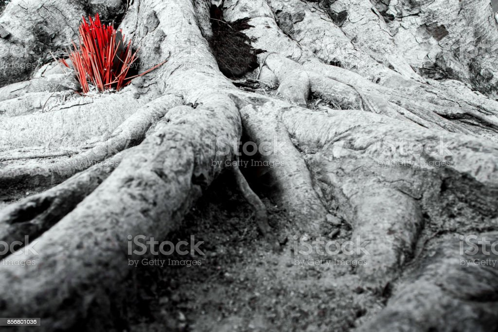Worship with incense sticks offering at banyan tree roots stock photo