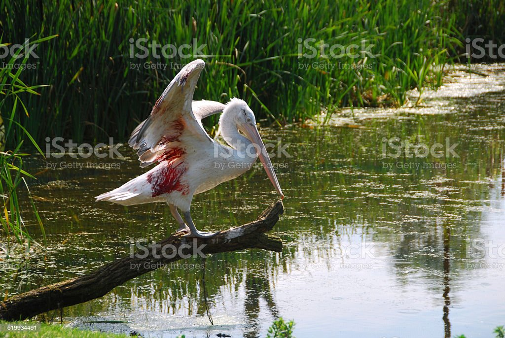 Wounded Dalmatian Pelican near a pond stock photo