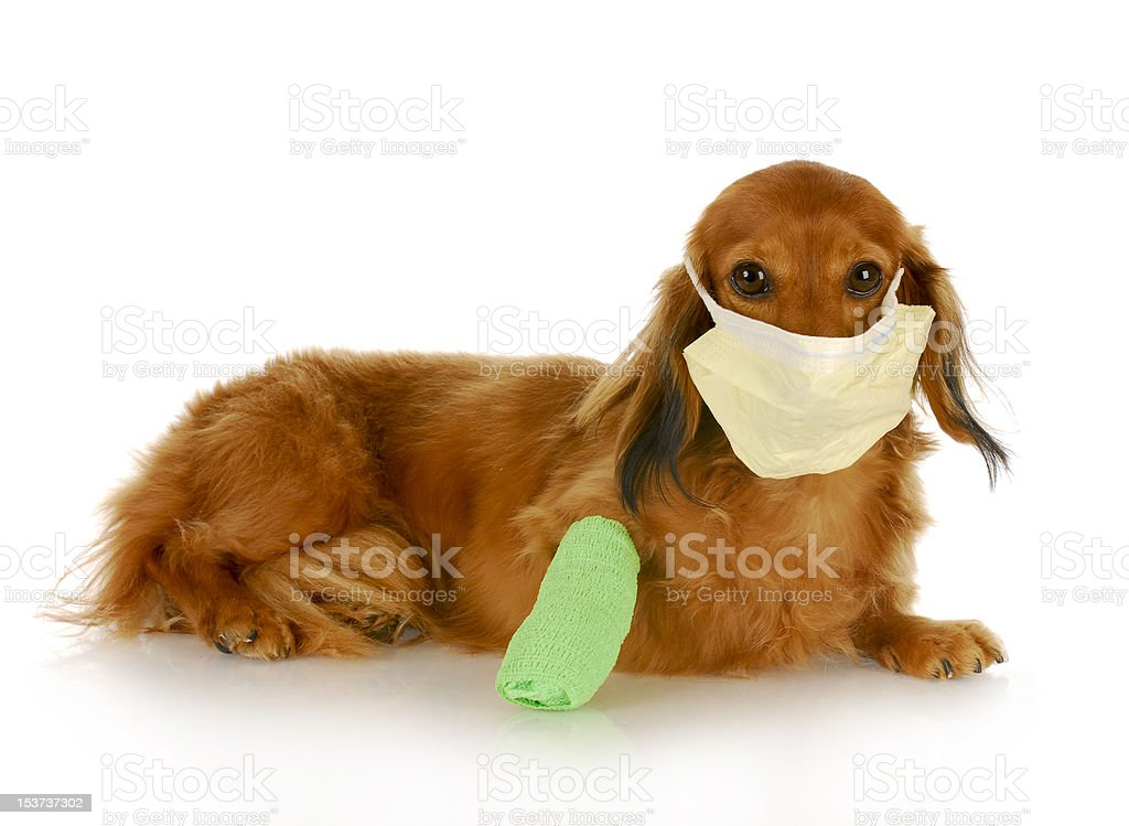 wounded dog royalty-free stock photo