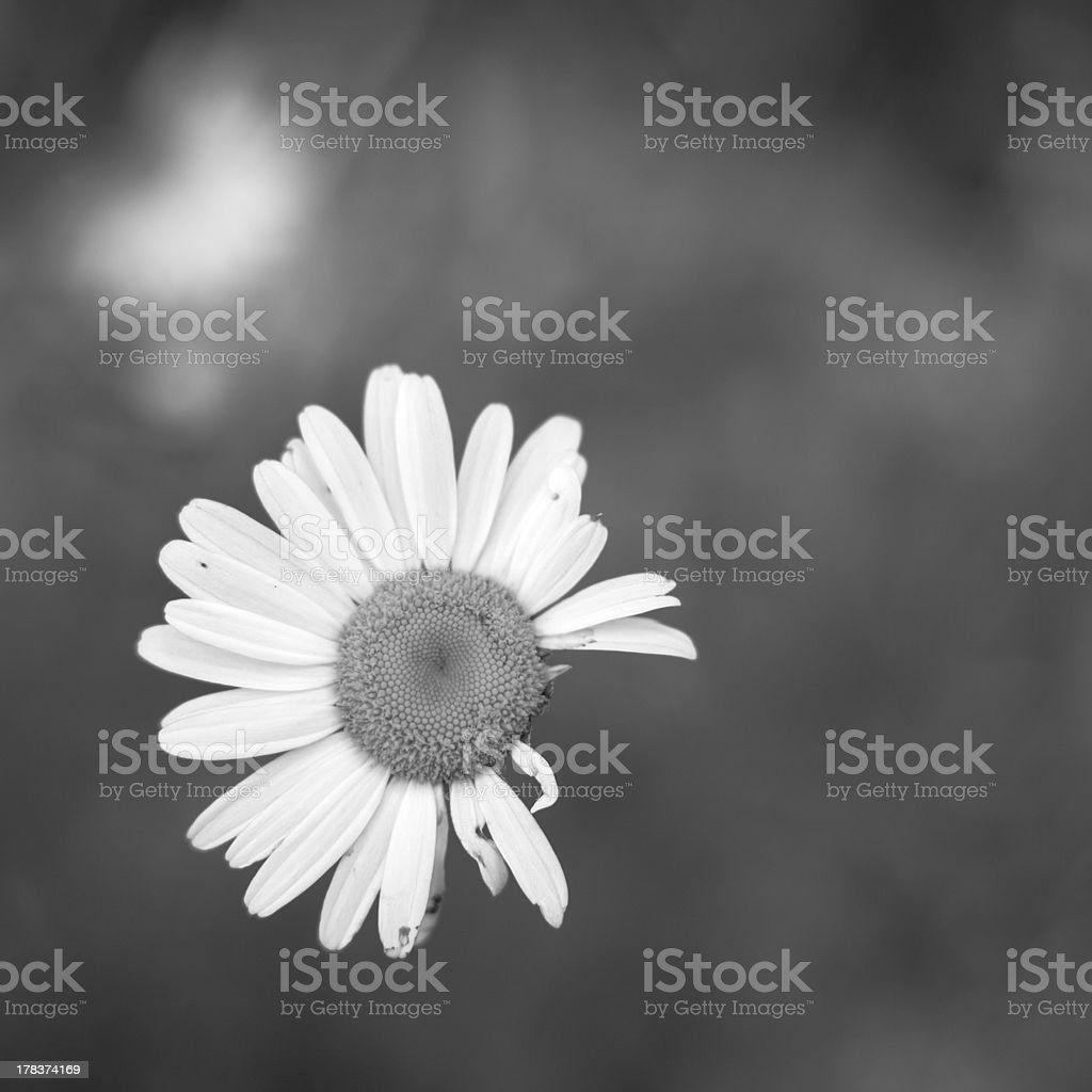 Wounded royalty-free stock photo