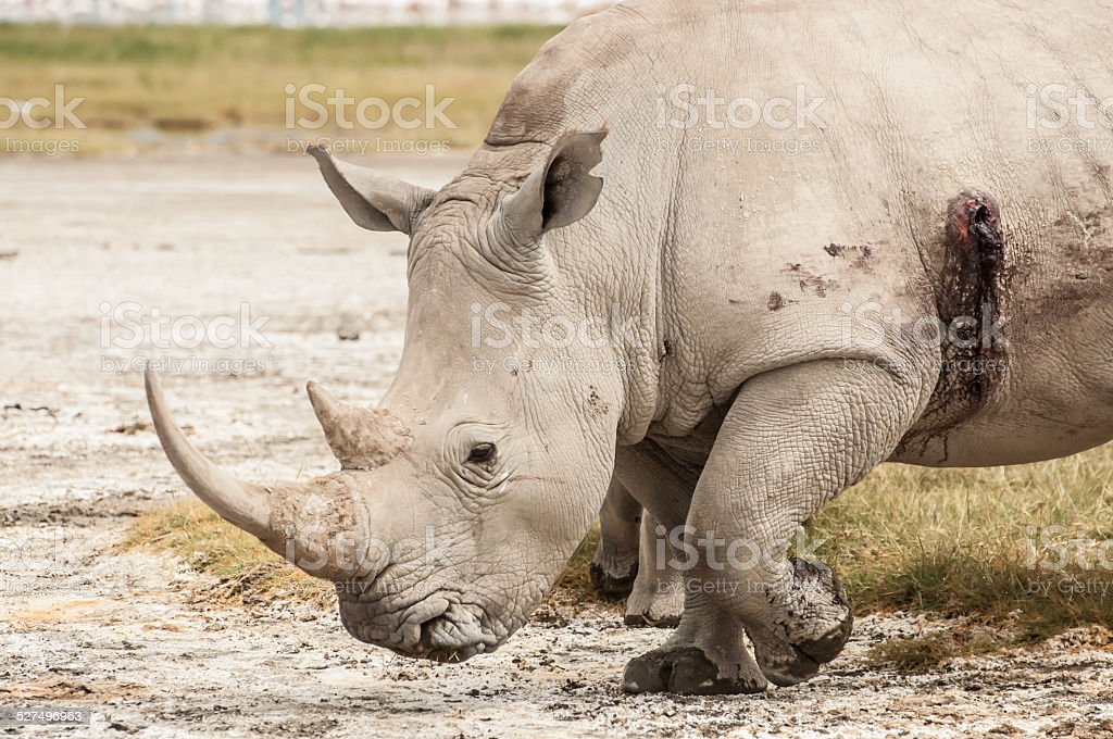 Wounded Rhino stock photo