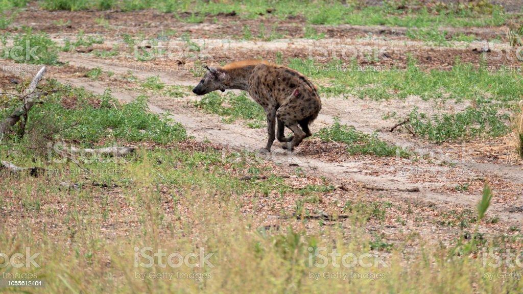 Hyène tachetée blessé dans le gibier de Selous en Tanzanie - Photo