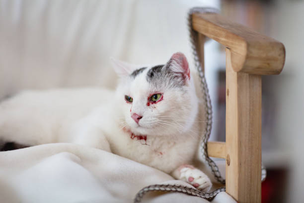 Wounded white cat with black spots stock photo