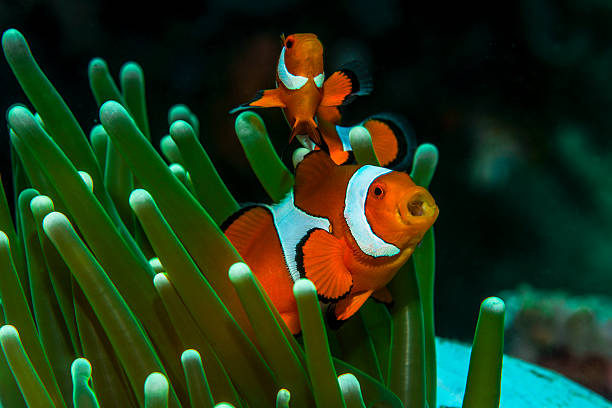 wow! False Clown Anemonefish in Lembeh false clown fish stock pictures, royalty-free photos & images