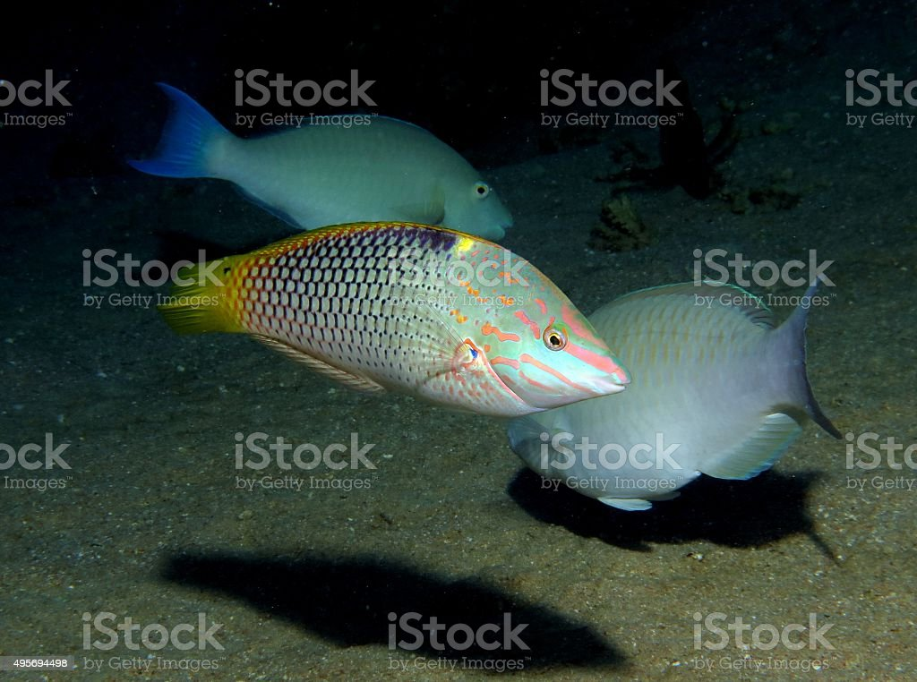 Wrasse and parrotfish stock photo