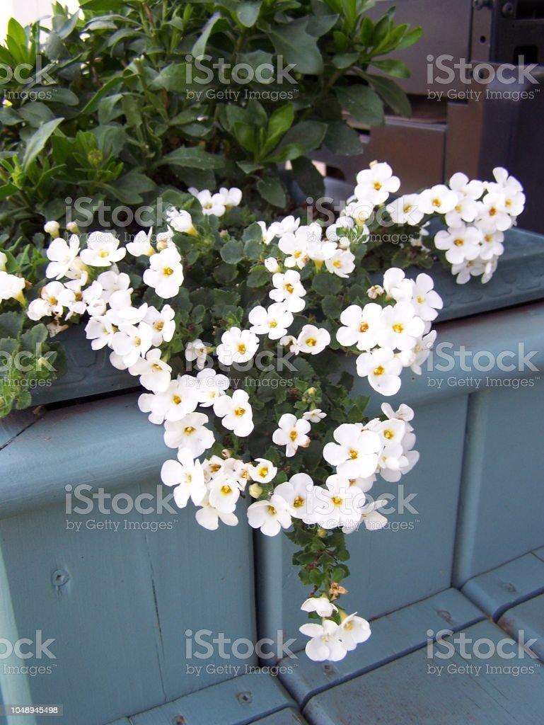 Wreath shaped trailing Bacopa stock photo