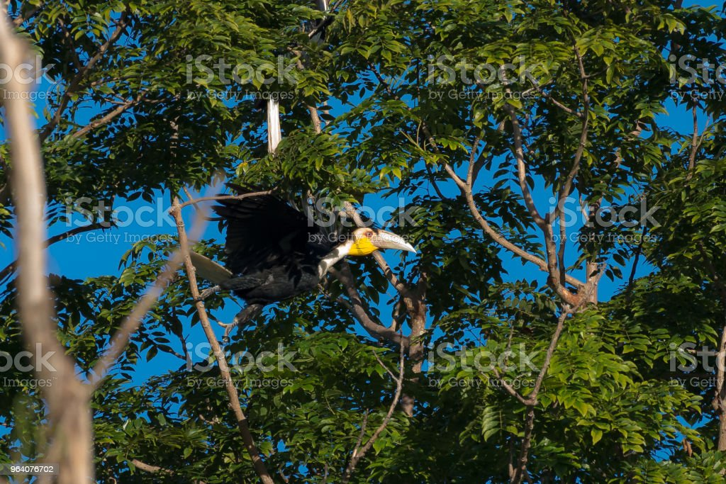 カオヤイ国立公園タイで包まれた永久サイチョウ - アジア大陸のロイヤリティフリーストックフォト