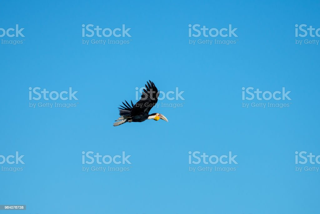 Wreathed hornbill at Khao Yai national park, THAILAND - Royalty-free Animal Stock Photo