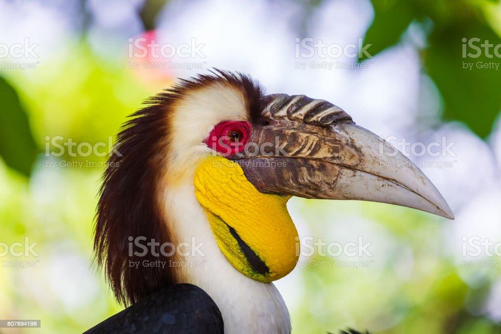 Wreathed Hornbill bird in Bali Island Indonesia stock photo