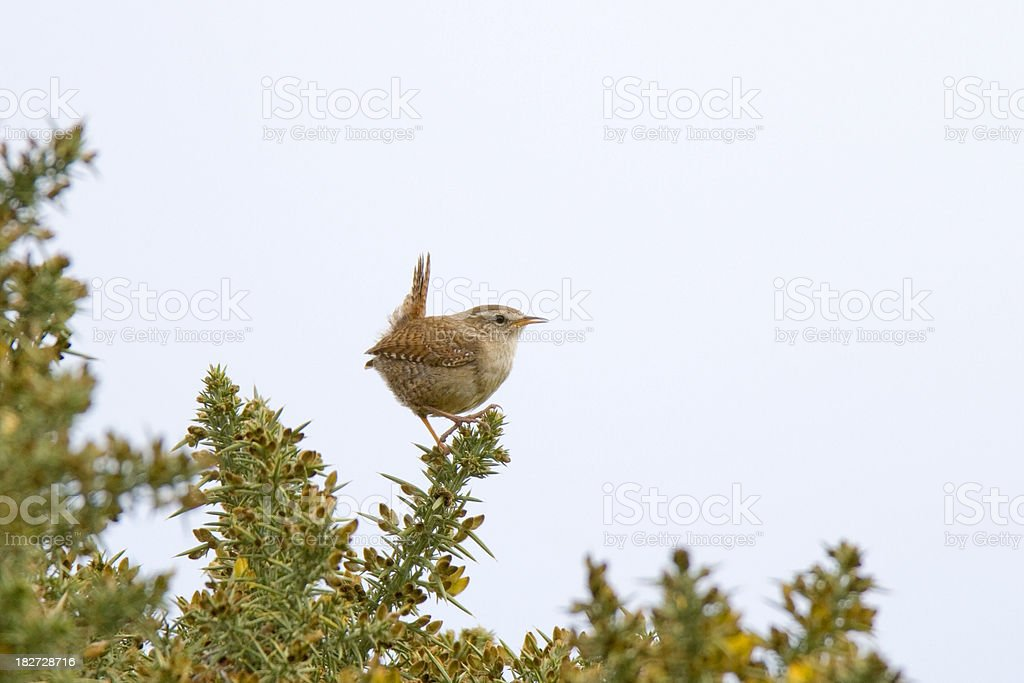 Wren (Troglodytes-troglodytes) royalty-free stock photo