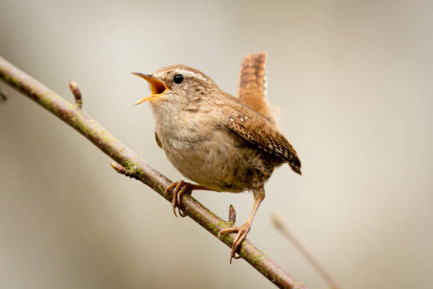 Wren (Troglodytes troglodytes) European Wren (Troglodytes troglodytes) perched on a branch singing, front view. animal call stock pictures, royalty-free photos & images