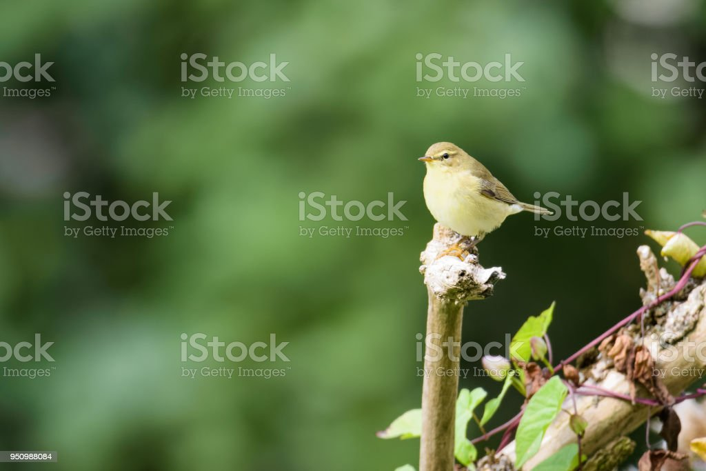 Wren sitting on a branch stock photo