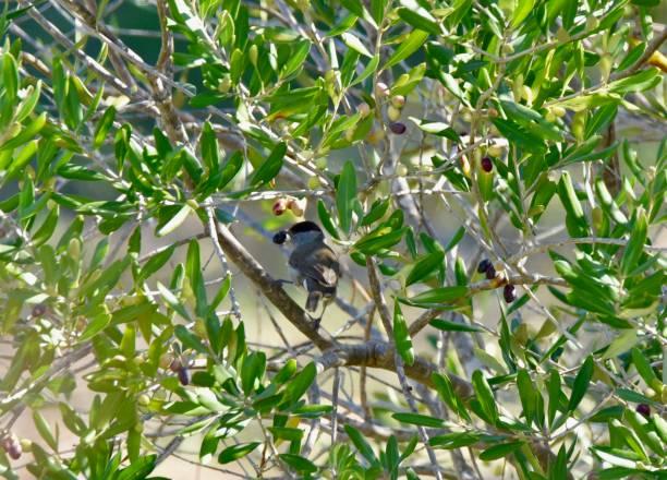 Wren with olive in beak stock photo