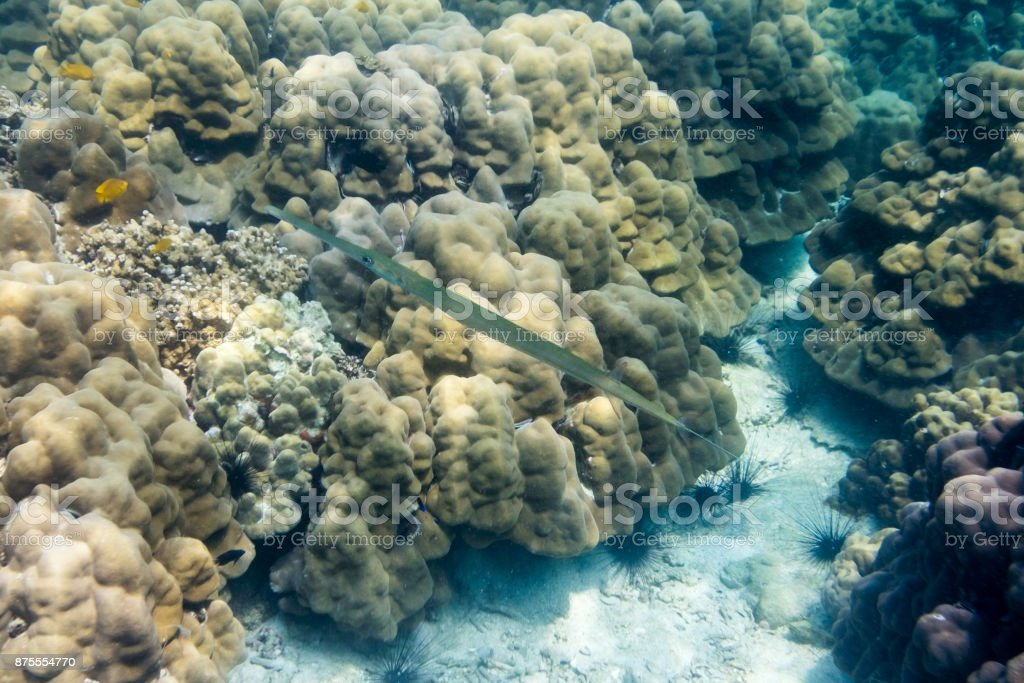 Wrestling halfbeak,Hemiramphidae,Dermogenys,long mouth and body clear in sea stock photo
