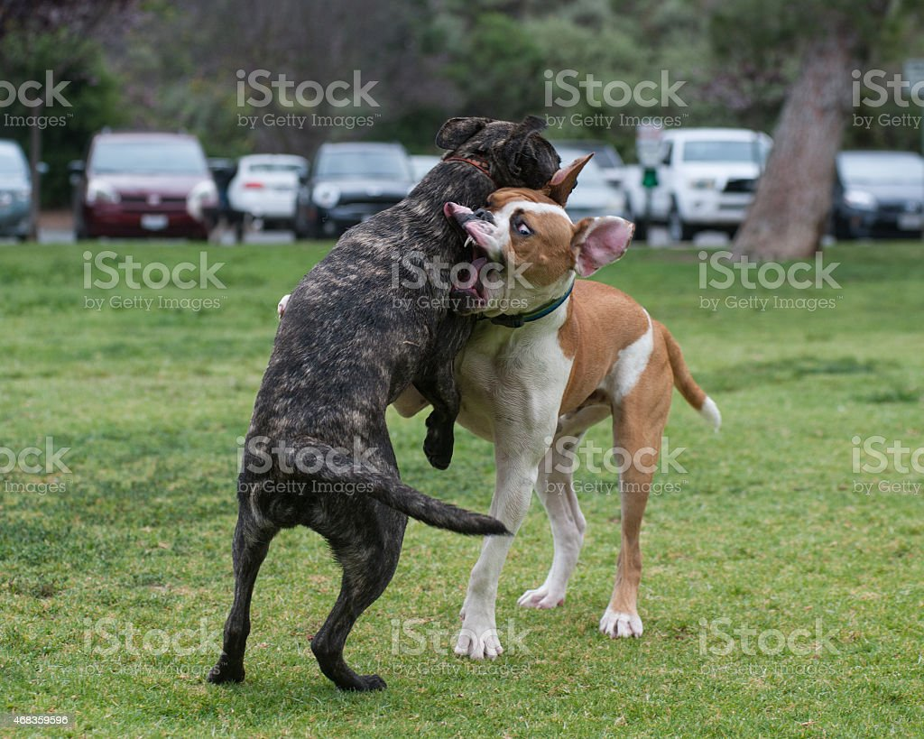 Wrestling puppies royalty-free stock photo