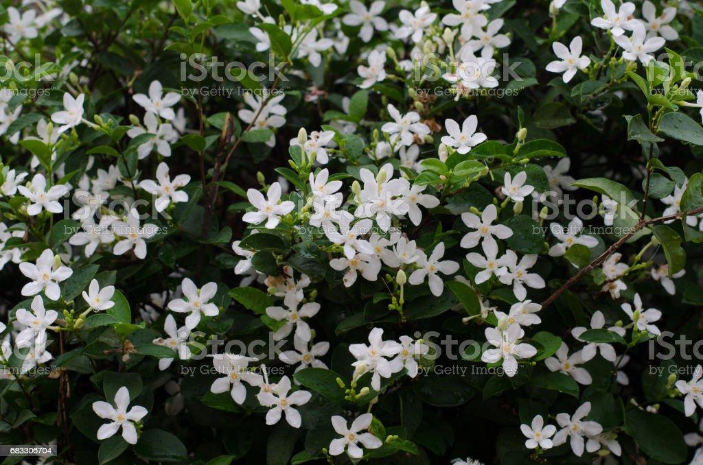 Wrightia antidysenterica or the coral swirl or tellicherry bark blooming on tree royalty free stockfoto