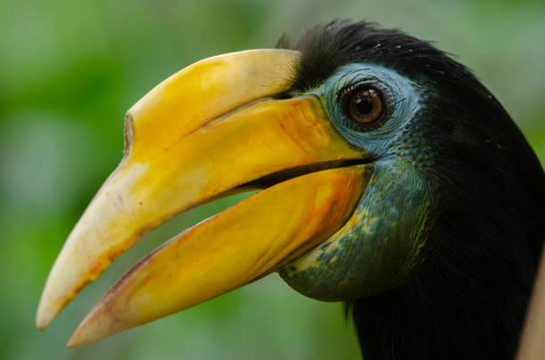 Wrinkled Hornbill stock photo