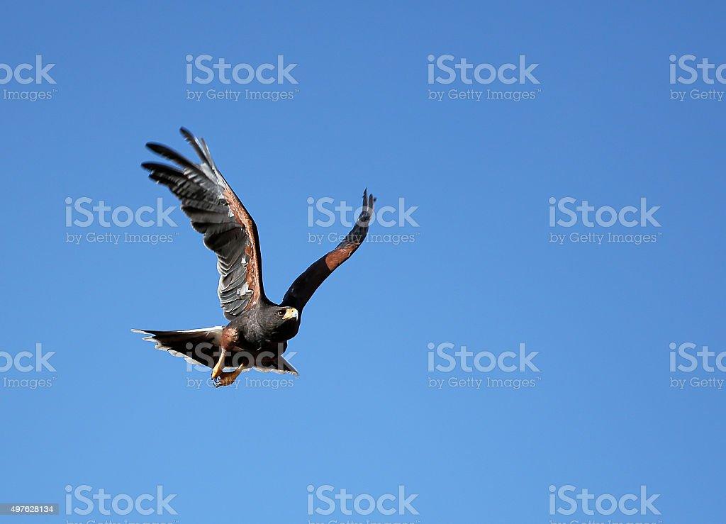 Wüstenbussard - Bird of prey stock photo