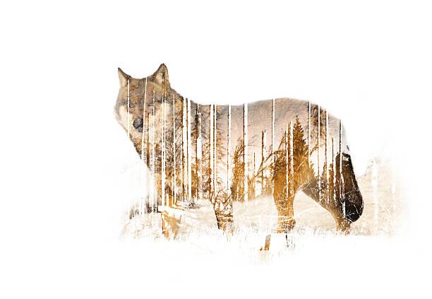wulf doppelbelichtung - wolf stock-fotos und bilder