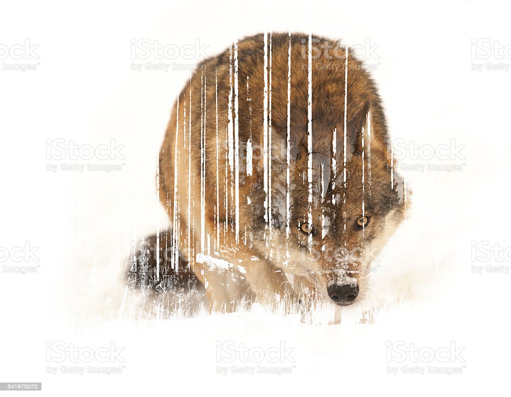 Wulf Double exposure stock photo