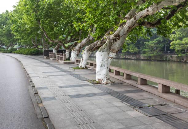 Wutong árbol y acera - foto de stock