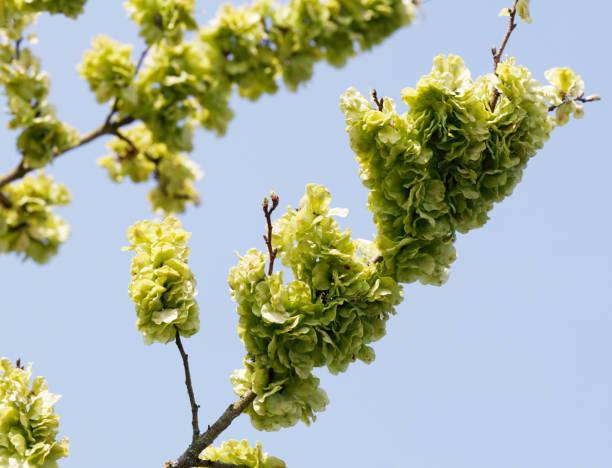 Wych Elm (Ulmus glabra) vruchten foto