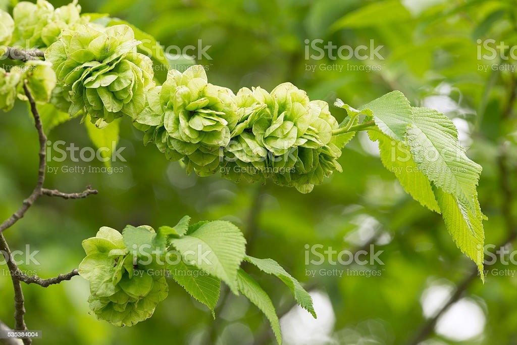 Wych elm, Ulmus glabra branch in springtime stock photo