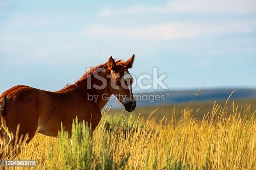 Wild Horse, Bureau of Land Management, Wild Horse Range, Rock Springs Wyoming
