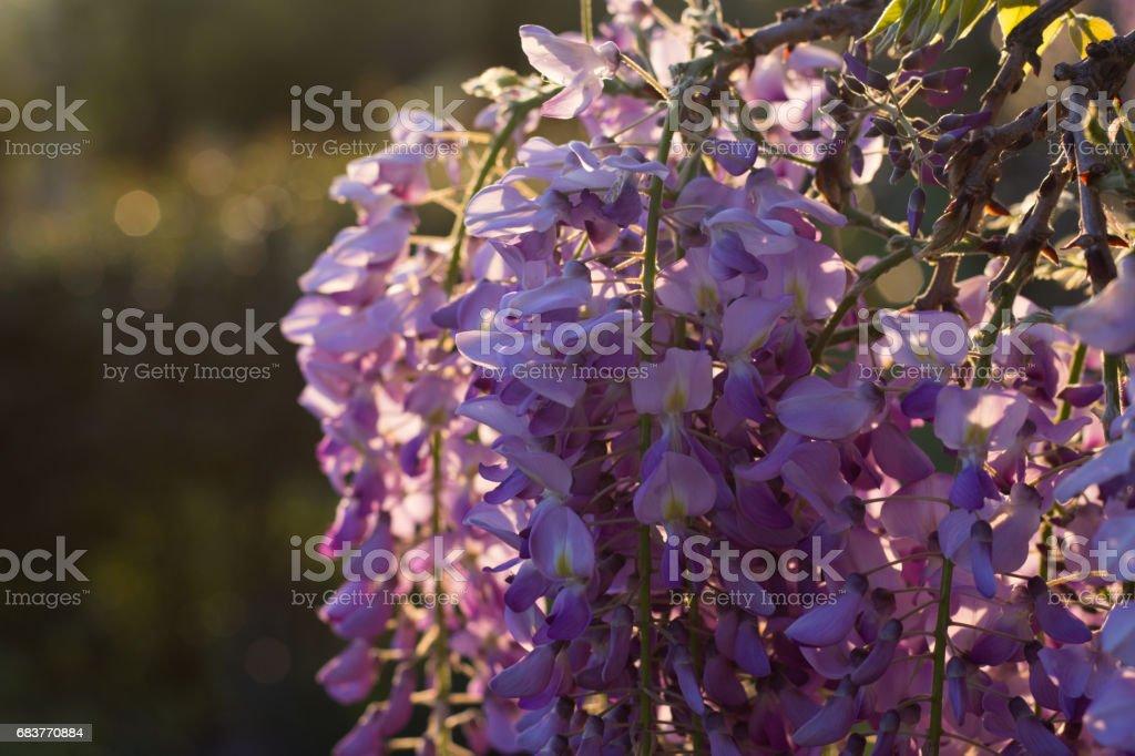 Wysteria Flowers stock photo