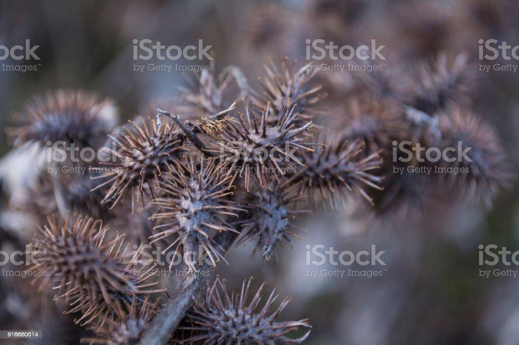 xanthium strumarium or rough cocklebur dry thorn closeup stock photo