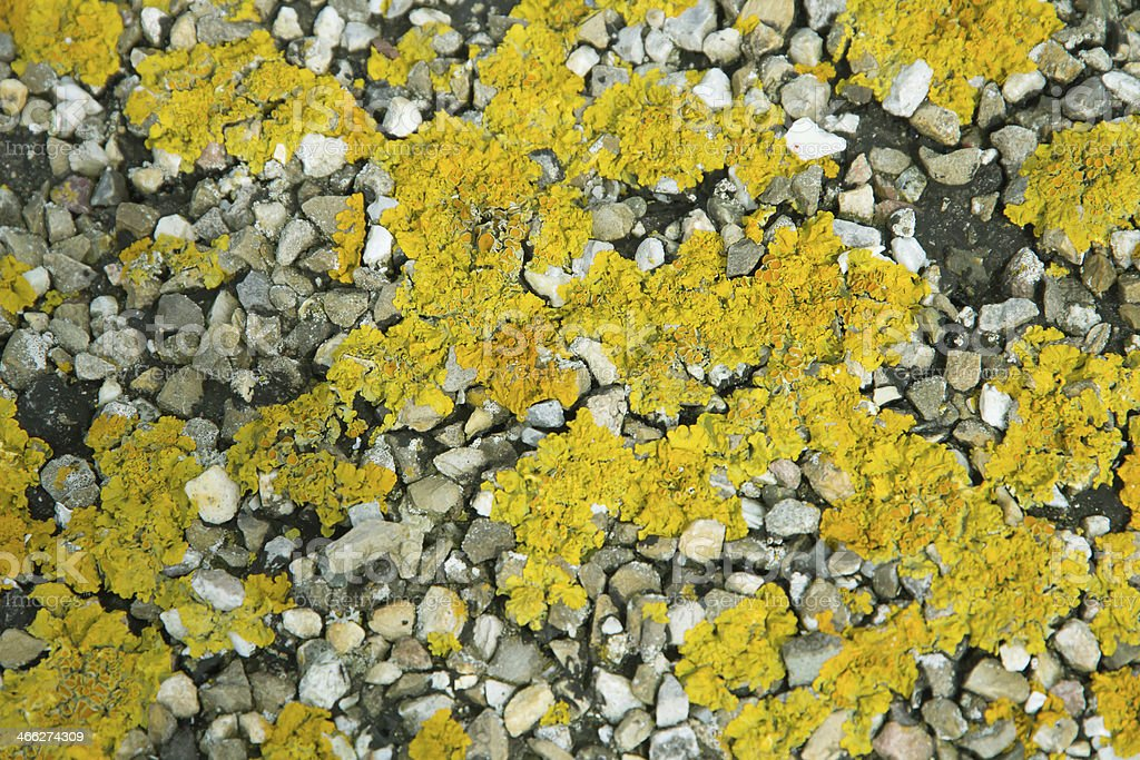 Xanthoria parietina on gravel stock photo