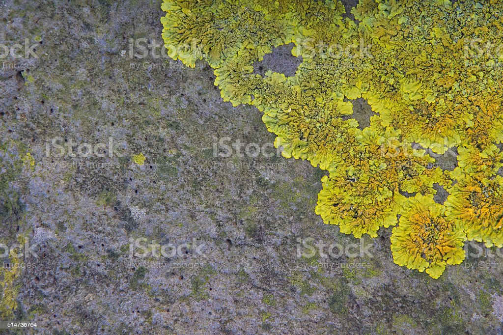 Xanthoria parietina on rock stock photo