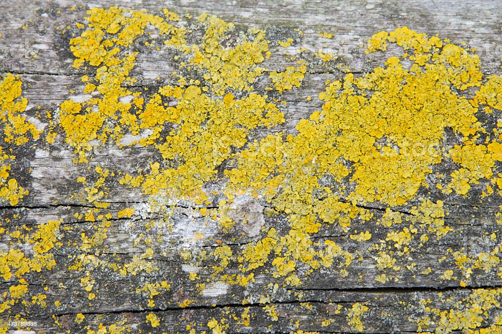 Xanthoria parietina on wood stock photo