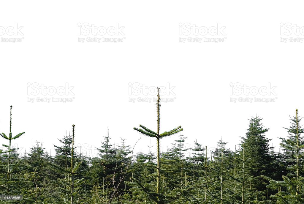 X-mas trees plantation background royalty-free stock photo