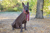 istock Xoloitzcuintle dog (Mexican Hairless dog breed) in bright stripped scarf on the autumn/fall background. 1158647602