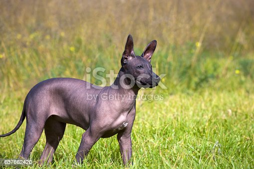 A hairless Xoloitzcuintle puppy standing in a natural setting side on the camera.